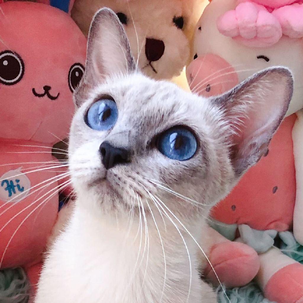 拜猫网_蓝眼怪家的暹罗猫