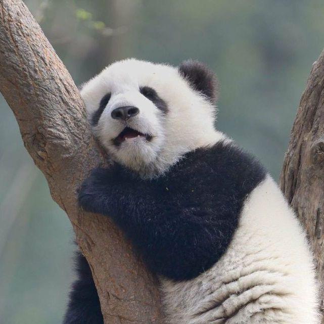 熊猫达人秀