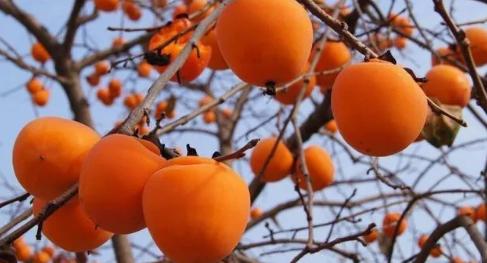 山村柿子树