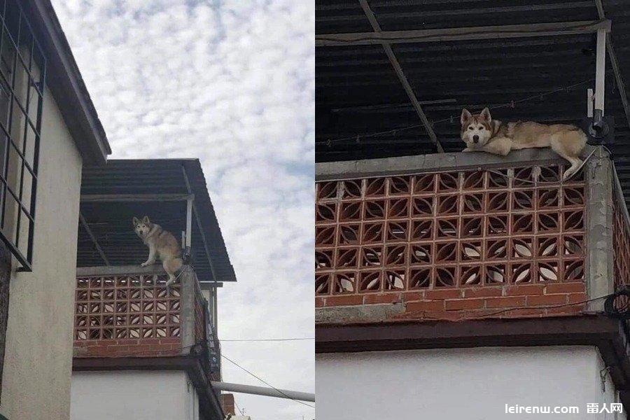 身手矯??!二哈爬高樓悠哉趴陽臺 網友笑:以為自己是貓?