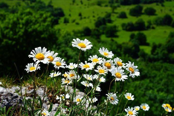 meadows-margerite-1464783__480