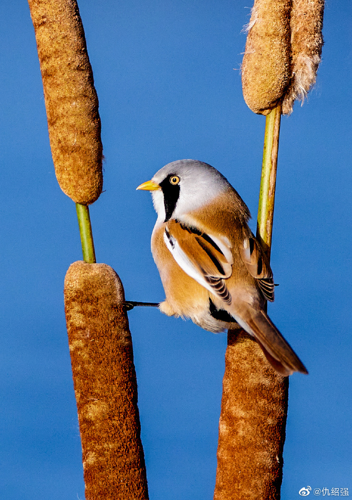 文须雀,小鸟的经典动作就是在芦苇杆上练习劈叉